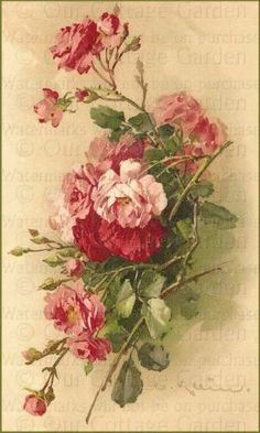 Pink Roses - Catherine Klein by mamie