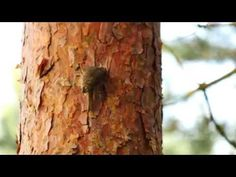 Eurasian Treecreeper or Common Treecreeper (Certhia familiaris) / Waldbaumläufer [09] - YouTube