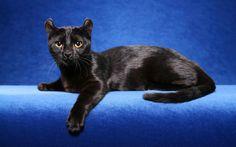 Американский керл – загадочная порода кошек с загнутыми ушами. За десяток лет эти веселые, умные и подвижные животные завоевали завидную популярность.