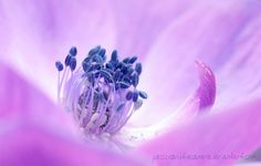 Purple anemone coronaria You are not allowed to use this image without my written permission!