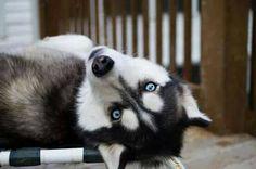 Yes??? #rescuedog #dog #itsarescuedoglife