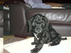 Photo gallery of Cockapoo puppies submitted by members of the Cockapoo Club of GB Baby Furniture Sets, Cockapoo Puppies, Cute Dogs And Puppies, Photo Galleries, Doodles, Club, Puppys, Gallery, Animals