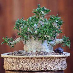 Pachypodium SAUNDERSII (Пахиподиум) - Интернет-магазин - Адениум дома: от семян до растений. Выращивание и уход.