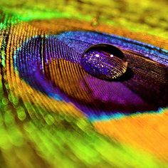 Peacock Feather Wallpaper Photo Nature