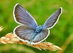 Geißklee-Blaeuling Argus-Blaeuling Plebeius argus Silver-studded Blue (28740 Byte)