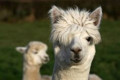 This Alpaca Picture Test Is Bizarrely Revealing
