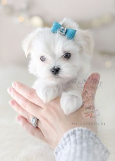 Maltese Puppy For Sale #369 TeaCup Puppies #Maltese