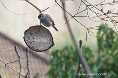 Another photograph of the male Black Cap, we enjoyed watching this little chap as part of the RSPB's Big Garden Birdwatch.