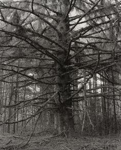 Robert Adams. Sitka Spruce, Cape Blanco State park, Curry County, Oregon.