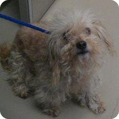 Johnson City, TN - Poodle (Miniature) Mix. Meet jasper, a dog for adoption. http://www.adoptapet.com/pet/14028408-johnson-city-tennessee-poodle-miniature-mix