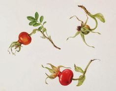 rose hips - Google Search