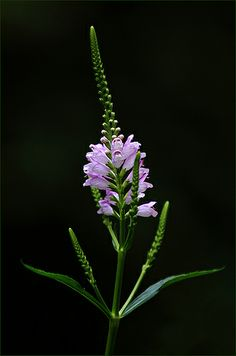 071514 false dragonhead ~ False Dragonhead (Physostegia virginiana)