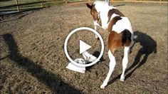Watch carefully the video below and see how these two weeks old foal react when a water touches his back.
