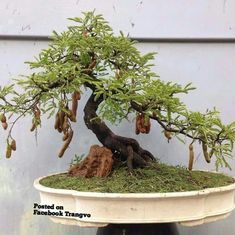 Bonsai tree-shape for spiral staircase and foliage? Bonsai Trees For Sale, Bonsai Tree Care, Bonsai Tree Types, Indoor Bonsai Tree, Mini Bonsai, Bonsai Plants, Bonsai Garden, Garden Pots, Wisteria Bonsai