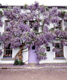 Purple Wisteria, Irish Cottage, Cottage Exterior, Purple Aesthetic, Ireland Travel, Tree Art, Houseplants, Outdoor Gardens, Beautiful Places