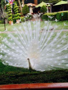 Whats prettier than a peahen? A peacock!