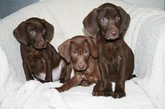 Puppyplaats.nl - Labrador x Weimaraner pups - Kruising: Labrador Retriever x Weimarse Staande Hond korthaar pups 0413 229757 www.dogsofthedutch.nl