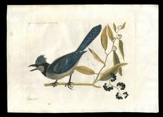 """Mark Catesby's counterproof of a crested blue jay is one of 28 images in this photo gallery from Colonial Williamsburg's """"Birds, Bugs and Blooms: Observing the Natural World in the 18th Century.""""  -- Mark St. John Erickson"""