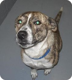 Rootstown, OH - Australian Shepherd Mix. Meet Luster 121651 Beautiful Girl a Dog for Adoption.