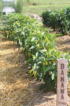 How To Make And Preserve Your Own Hot Banana Pepper Rings Hot Banana Peppers, Pickled Banana Peppers, Canning Banana Peppers, Stuffed Banana Peppers, Banana Pepper Rings, Dyi, Pepper Plants, Farm Gardens, Small Gardens