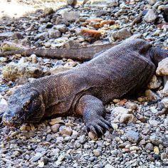 #komododragons have a similar schedule to our #ikanbiruliveavoard. Survive. Eat. Sleep. Repeat.