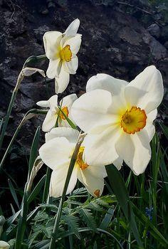 Narcissus | Una primavera di colori e profumi: fioriscono i Narcisi in Lunigiana!