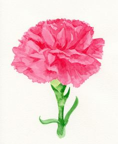 Pink carnation watercolor