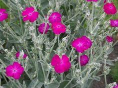 A bársonyos kakukkszegfű (Lychnis coronaria) gondozása - CityGreen. Agapanthus, Wild Flowers, Backyard, Plants, Gardening, Garden Ideas, Google Search, Gardens, Flowers