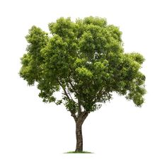 Buy big tree on white by on PhotoDune. big tree with a white background, camphor tree isolated