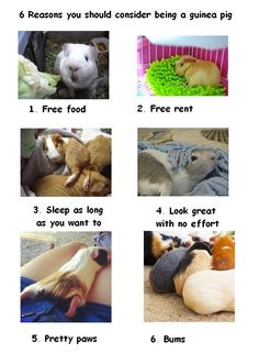 6 Reasons why you should consider being a guinea pig. That's true! :)