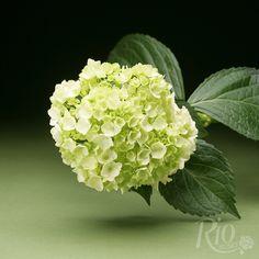 Green Hydrangea, Hydrangea Flower, Flowers, Hydrangea Macrophylla, Bride Bouquets, Flower Arrangements, Rio, Brunch, Roses