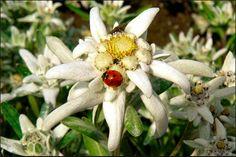 Edelweiss, Plant Art, Botanical Flowers, Flower Images, Ladybug, Wild Flowers, Planting Flowers, Christmas Wreaths, Holiday Decor