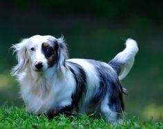 dapple long haired dachshund