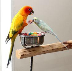Sun Conure and Budgerigar Funny Birds, Cute Birds, Pretty Birds, Beautiful Birds, Animals Beautiful, Parrot Pet, Parrot Bird, Exotic Birds, Colorful Birds