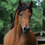 El Na'Im AO (Nibrass x 'A' Emaan) 2008 bay stallion bred by Arabian Obsession, Belgium