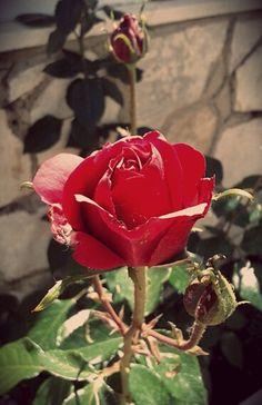 Rosas. #rose #rosa #primavera