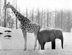it would be funny to name a pug an incongruent wild animal like giraffe or elephant pic fromConfessions of a Watery Tart: December 2010 Baby Animals, Funny Animals, Cute Animals, Baby Giraffes, Safari Animals, Beautiful Creatures, Animals Beautiful, Elephants Photos, African Animals