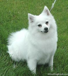white+eskimo+dogs | ... Eskimo Dog (Miniature) - American Eskimo Dog (Miniature) - Small Dogs