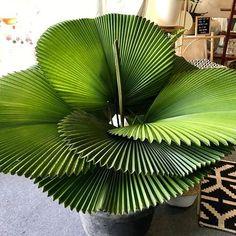 - ZZ Botanical and Home - Simply perfect Parasol Palm 👌😍 Photo: Succulent Care, Succulent Pots, Planting Succulents, Indoor Succulents, Succulents Garden, Succulent Arrangements, Australia Living, Cool Plants, House Plants