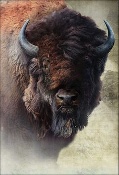 VAN CHARLES Buffalo Animal, Buffalo Art, American Bison, American Animals, Majestic Animals, Animals Beautiful, Animal Bufalo, Wildlife Photography, Animal Photography