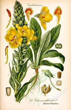 Thom©♭'s Flora von Deutschland, - Biodiversity Heritage Library Vintage Botanical Prints, Botanical Drawings, Botanical Art, Vintage Illustration, Botanical Illustration, Healing Herbs, Medicinal Plants, Impressions Botaniques, Illustration Botanique
