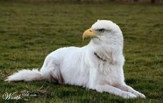 Another strong-looking eaglemutt