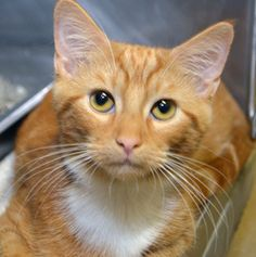 Pumpkin is an adoptable, female, spayed, Domestic Short Hair orange classic tabby Cat in Wyoming, MN. Age: 4-5 months at date of arrival (8/1/2013). Note From An NHS Volunteer: Pumpkin is a playful, friendly kitten who will make a wonderful companion.