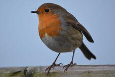 Robin, Bird, Nature