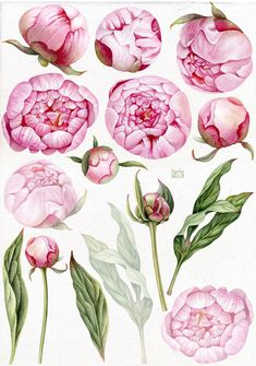 Peony Drawing, Oil Painting Flowers, Watercolor Flowers, Watercolor Paintings, Watercolour, Watercolor Portraits, Watercolor Landscape, Abstract Paintings, Botanical Drawings