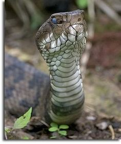 also called water moccasin. Study suggests that foraging snakes have round pupils and ambush hunters have cat pupils. Not that only venomous snakes have cat like pupils. Animals Of The World, Animals And Pets, Beautiful Creatures, Animals Beautiful, Beautiful Snakes, Pretty Snakes, Spiders And Snakes, All About Snakes, Snake Art