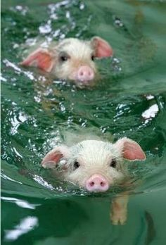 Baby pigs swimming in water