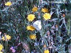 Una sesión de mariposa blanca.....