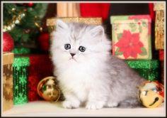 Silver Tipped Rug Hugger Kitten