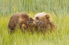 cub pile - A pile of bear cubs in the fields of Denali National Park